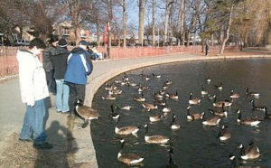 feeding bread to geese can kill them